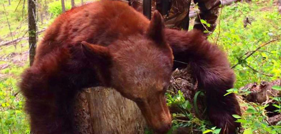 Montana Black Bear Hunts
