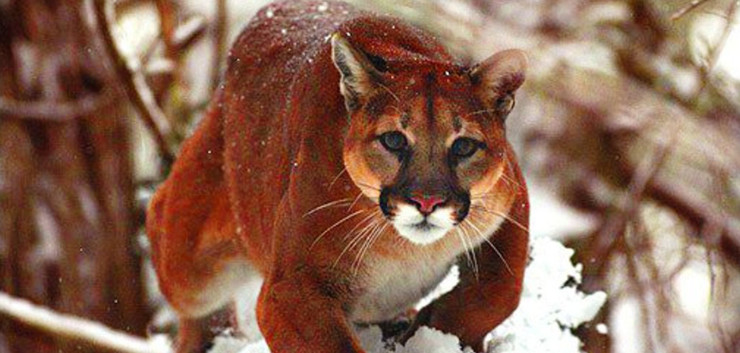mountain ranch cougar women On our ranch, we are now losing more to cougars than to coyotes  in colorado,  the number of adult sheep killed by mountain lions averaged  ''the female lion  represented the future of her species, which i believe has an.